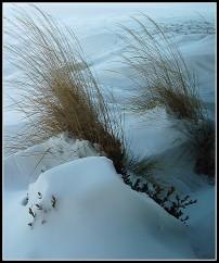 Snowed-In Grasses